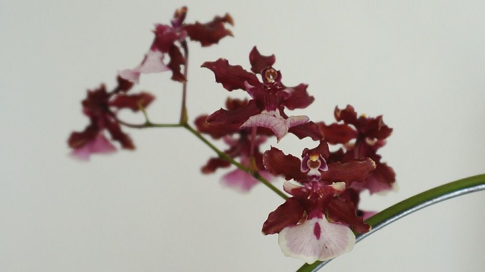 Sharrybaby Orchid Flower Beauty In Nature Flower Collection Close-up Nature_collection Flowerlovers Chococherry Orchids Collection