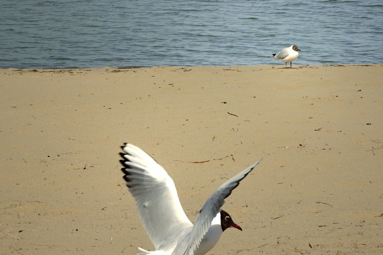 bird, animal themes, animals in the wild, water, seagull, nature, animal wildlife, one animal, day, white color, no people, sea, spread wings, sea bird, beauty in nature, flying, outdoors, great egret, beach, swan, close-up, mammal