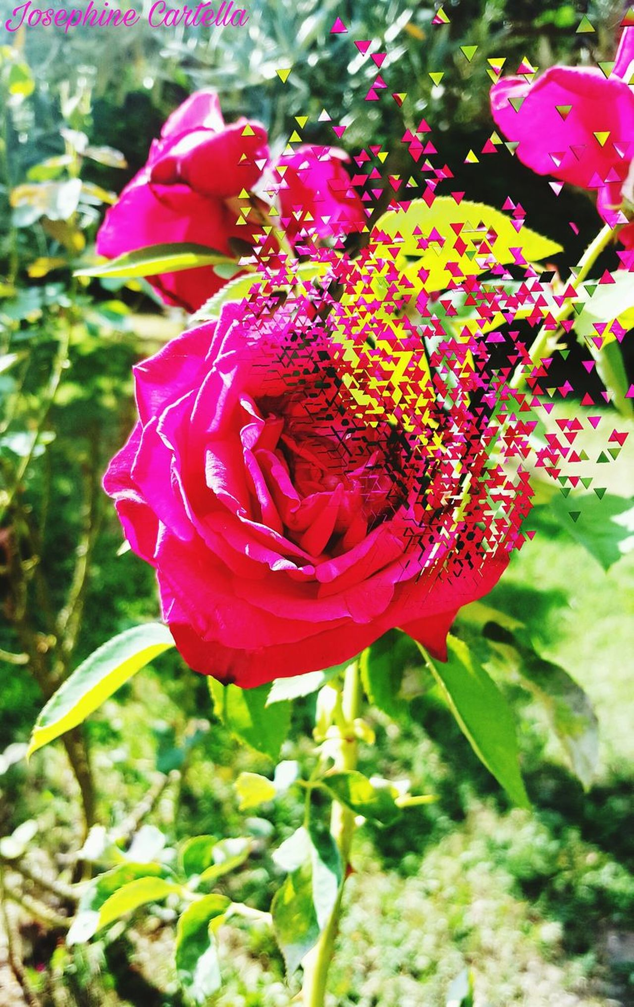 Flower Plant Distruction Beauty In Nature Petal Fragility Freshness Magic Moments Magic Moments IT Photo Photographer Love Ph Photograph Beautiful View Beautiful Nature View Nature Italy Lovelovelove Day Roses Flowers  Roses