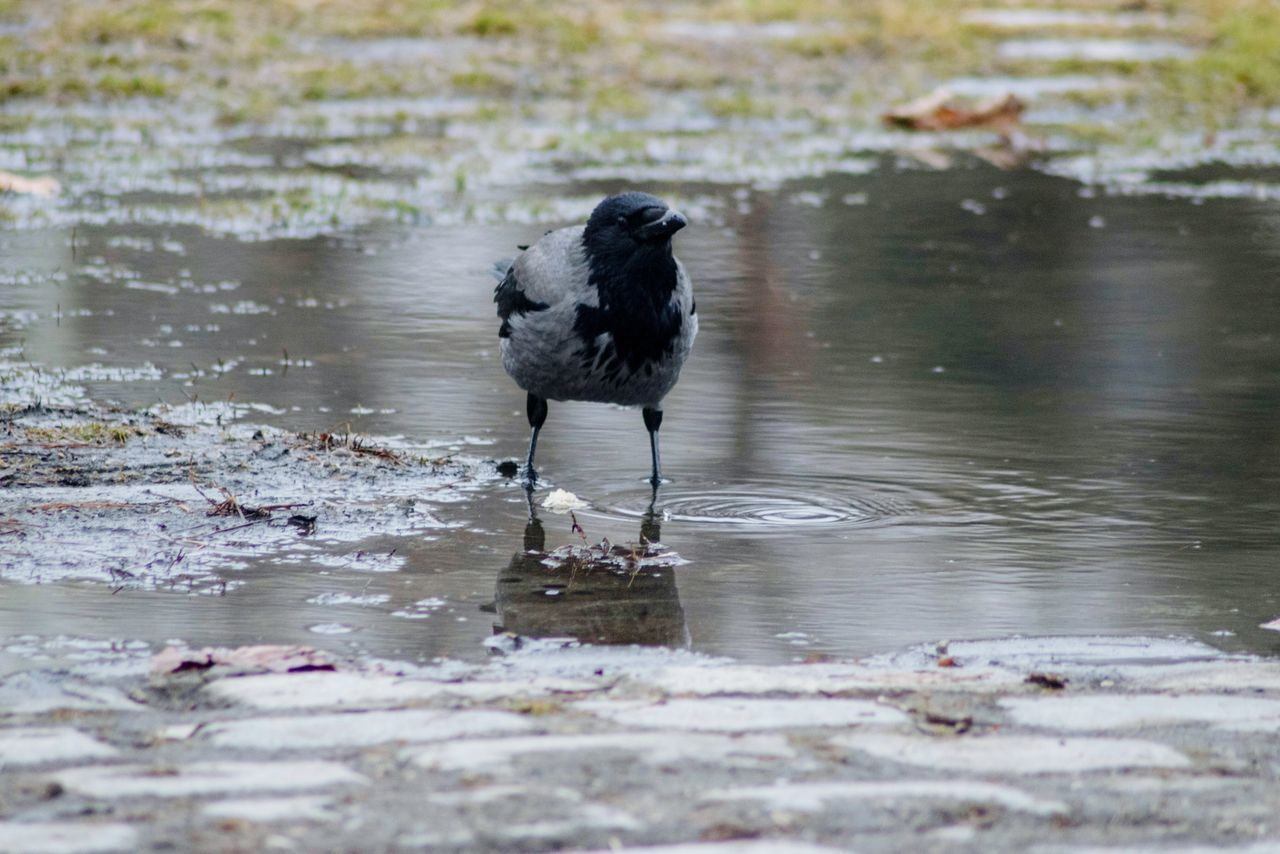 Black bird in a water Water Reflection One Animal Lake Animals In The Wild Animal Themes Animal Wildlife Bird Nature No People Outdoors Water Bird Day Wading Silhouette Photography Scenic Views Thessaloniki Greece Close-up Natural Beauty Colors