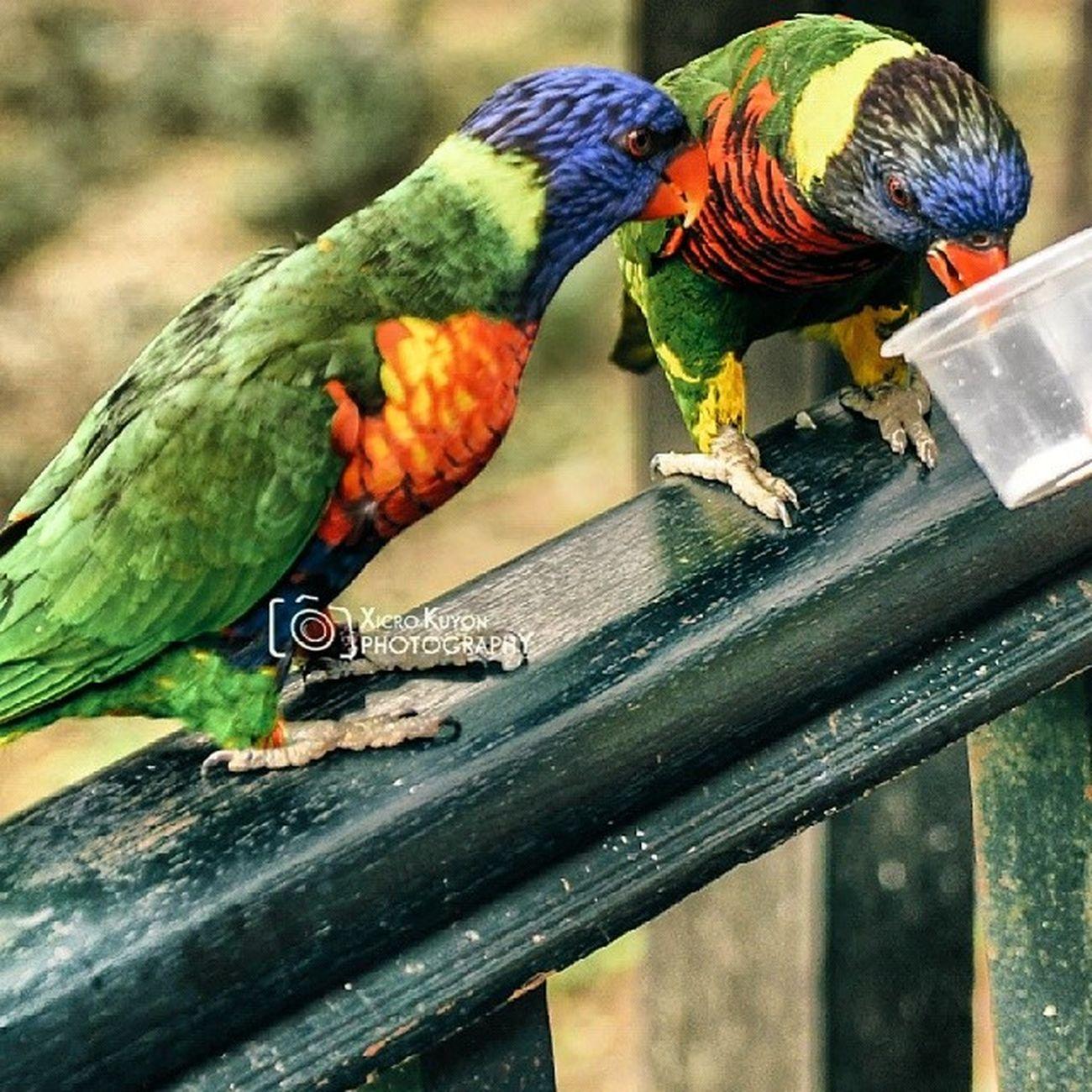 Parrot Burung Kakaktua Nuri pet hobi kl kualalumpur nature cuticutimalaysia selfie cantik