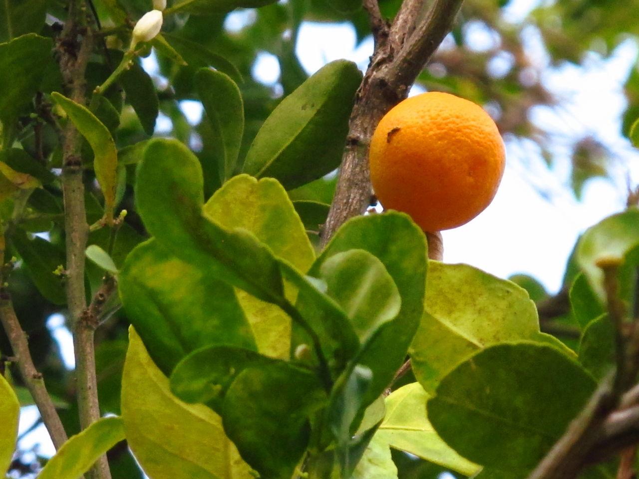 Citrus Japonica Thunb Fruit Kumquat Orange Orange Color