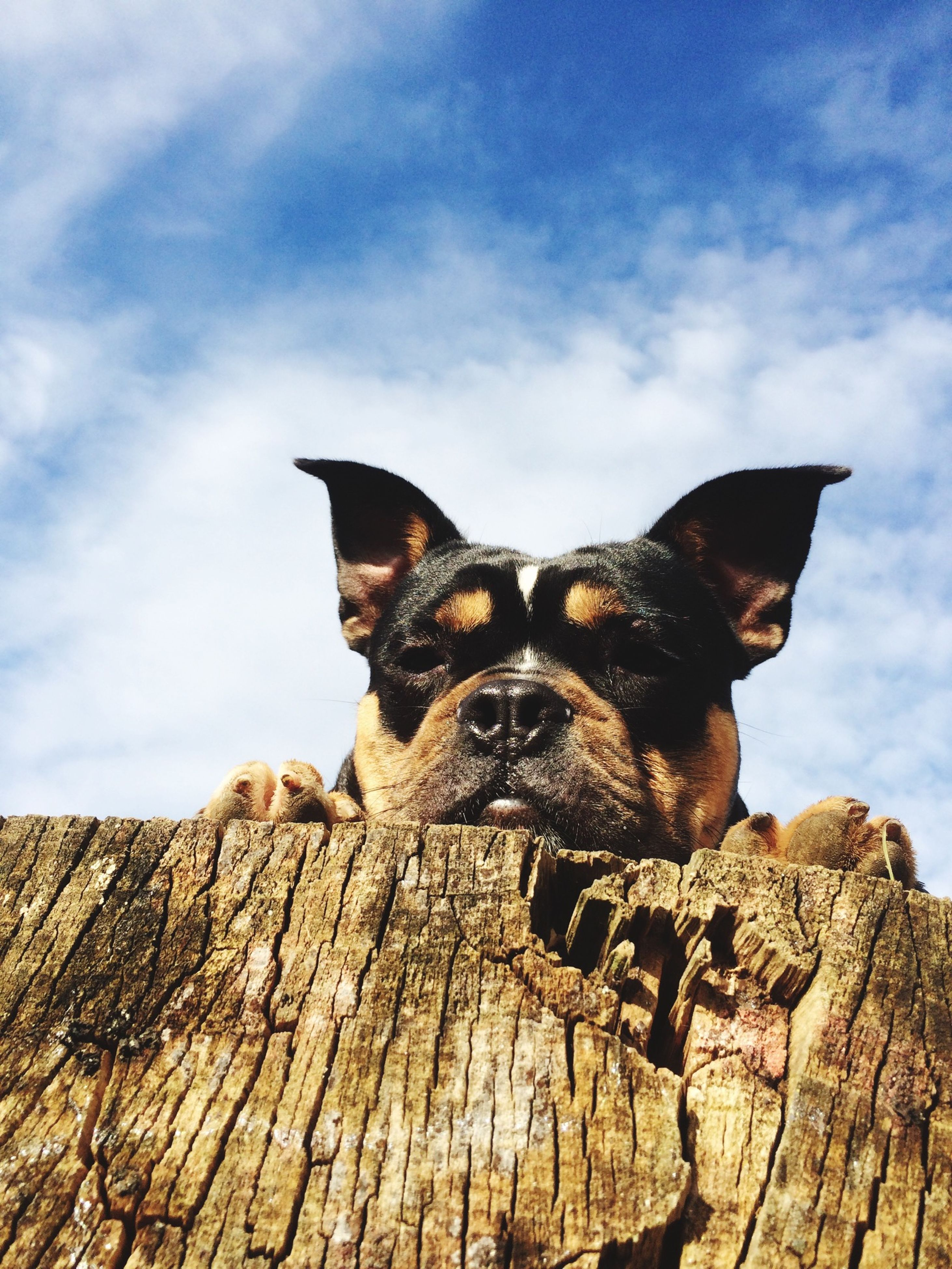 animal themes, one animal, mammal, domestic animals, pets, sky, portrait, looking at camera, low angle view, dog, cloud - sky, sitting, outdoors, cloud, full length, day, no people, wood - material, sunlight