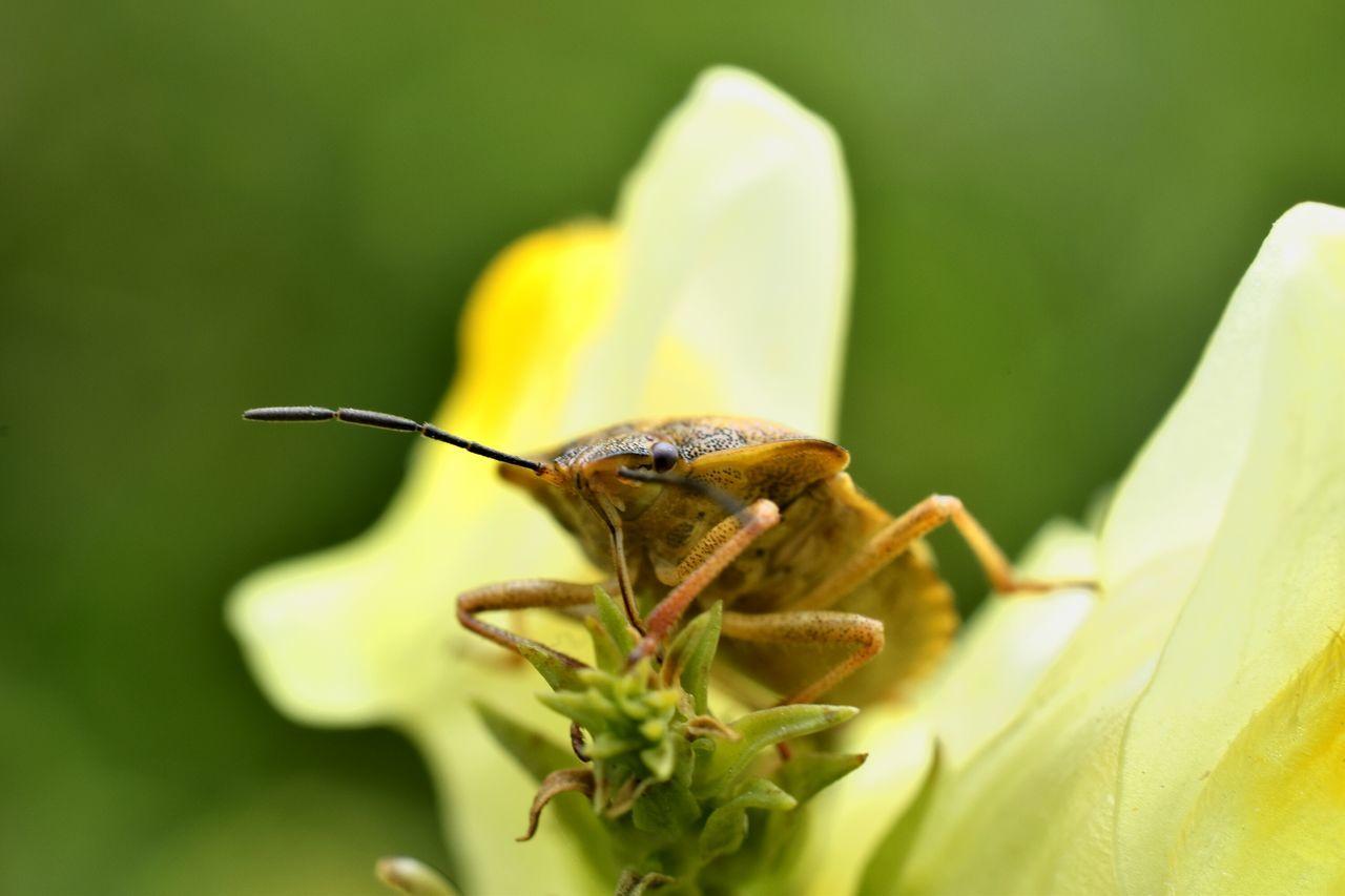 Insect Close-up Outdoors Nature Hemiptera Stinkbug EyeEmNewHere Macro No People Animal Wildlife Nikon Plant Green