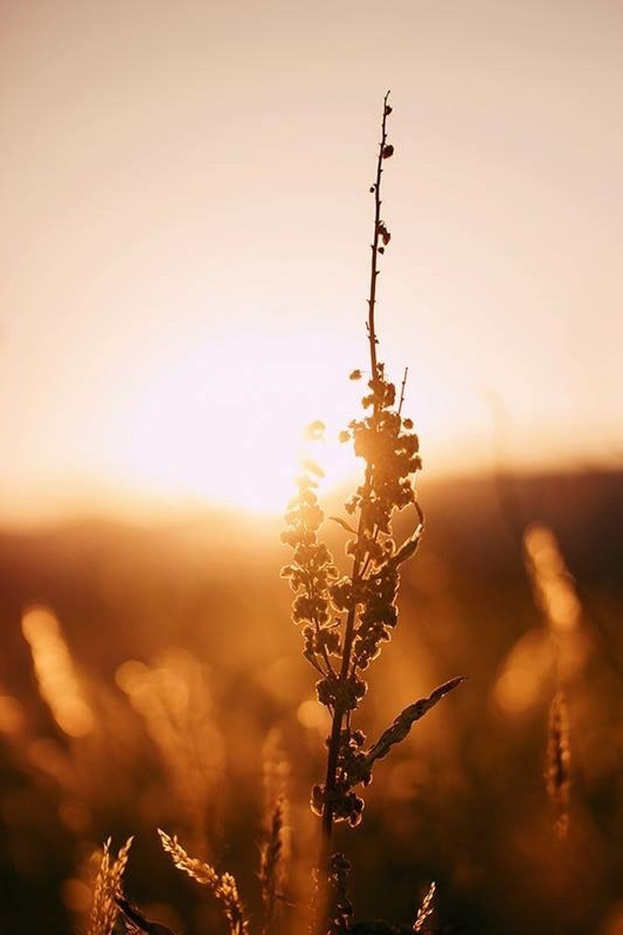 Sunset Nature Beauty In Nature Sun Agriculture Sunlight Beauty Close-up Landscape Plant Outdoors Idyllic Summer No People Cereal Plant Sky Leaf Autumn Scenics