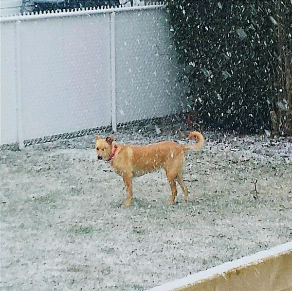 Doginsnow Check This Out Taking Photos Doglover Snow Storm Shocase April Mybeautifuldog Snow In April?? Dog❤ Snow Day Dogs Of EyeEm Dogslife Dog Playing In Snow