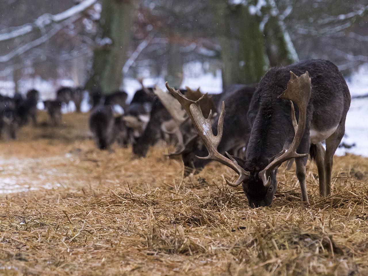 Beautiful stock photos of hirsch, animal themes, mammal, one animal, standing
