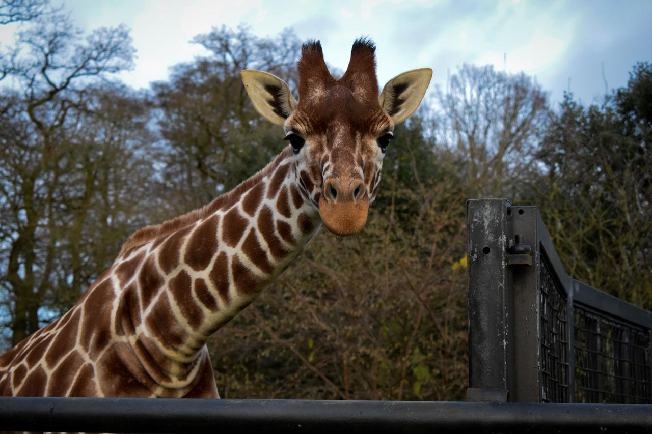 Animal Themes Animal Wildlife Animals In The Wild Bare Tree Day Giraffe Giraffe Head Giraffes Giraffes! Giraffe♥ Herbivorous Low Angle View Mammal Nature No People Outdoors Safari Animals Sky Tree