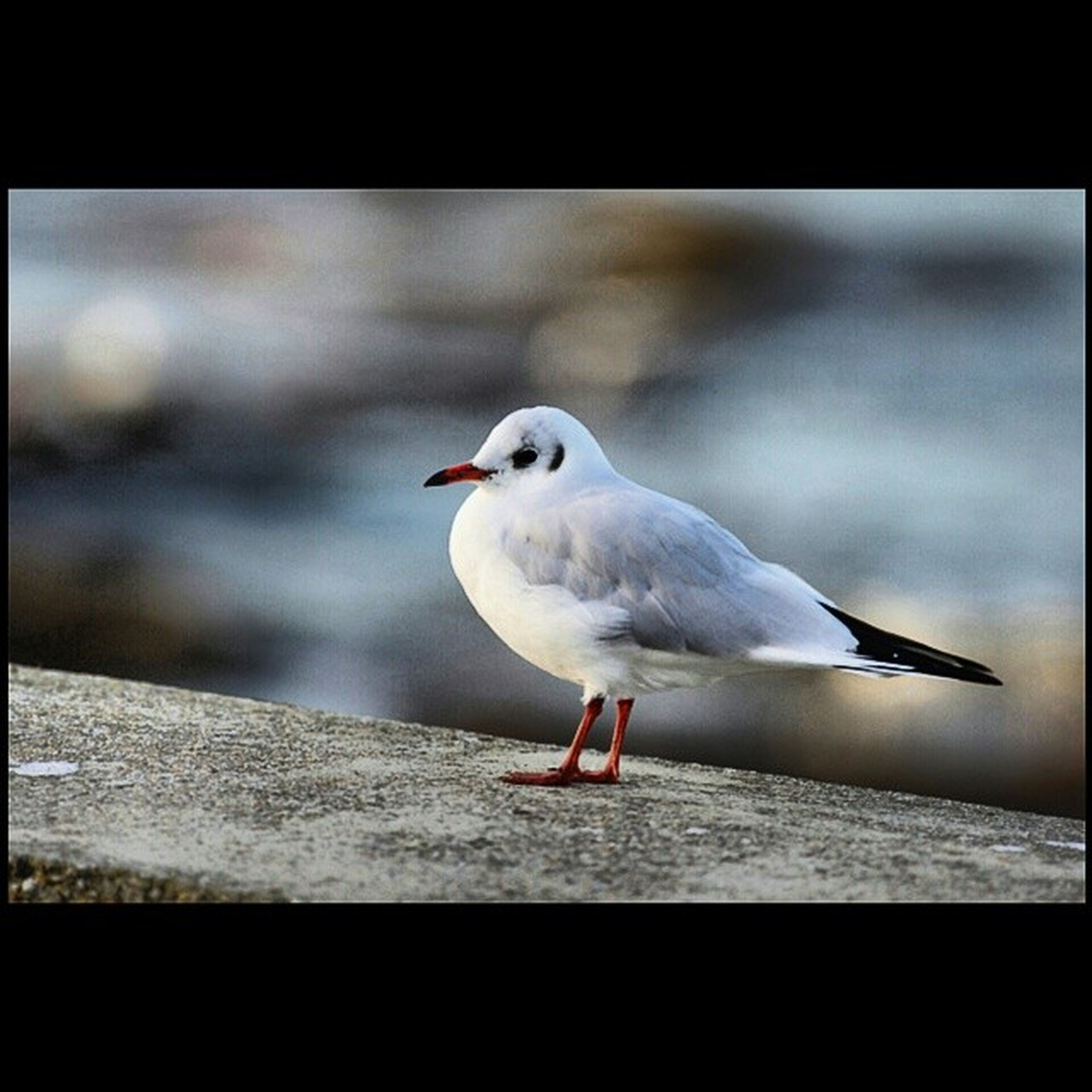 bird, animal themes, transfer print, seagull, wildlife, animals in the wild, one animal, auto post production filter, focus on foreground, full length, beak, perching, white color, close-up, side view, nature, day, outdoors, no people, sea bird