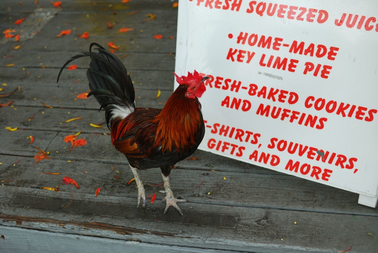 Beautiful stock photos of rooster, Animal Themes, Banner, Day, Full Length