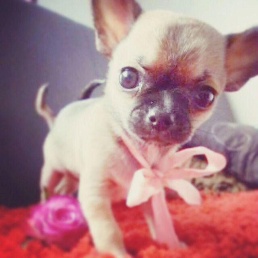 IM SO IN LOVE!!!!! Chihuahua Cuttest Dog