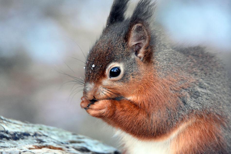 Beautiful stock photos of eichhörnchen, Animal Hair, Animal Themes, Animal Wildlife, Animals In The Wild