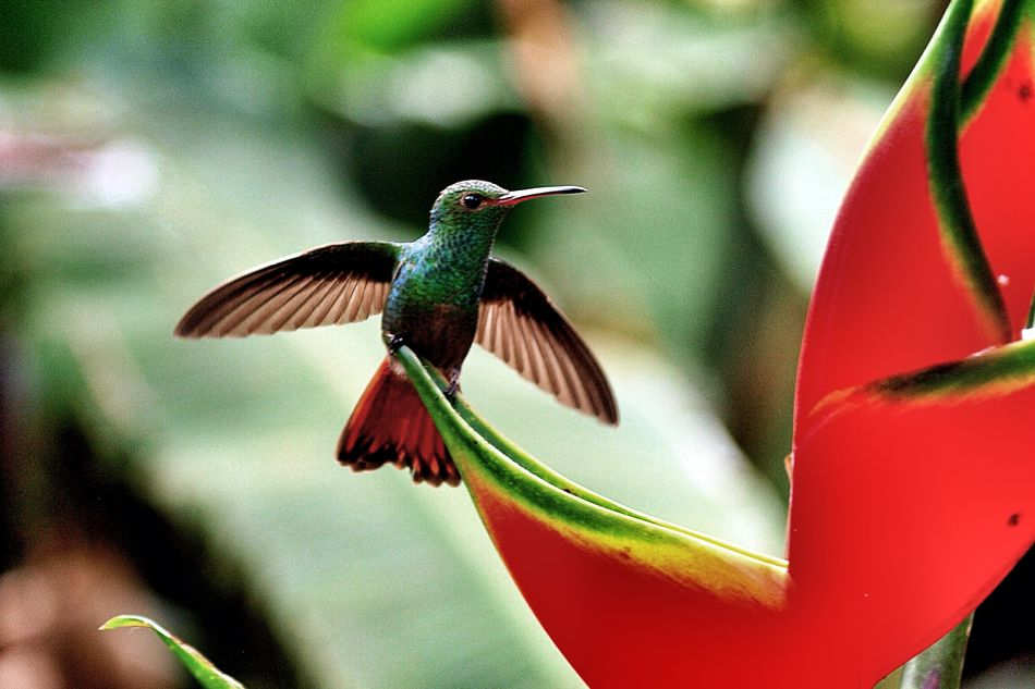 """Natures treasures"" Animal Themes Beauty In Nature Close-up Focus On Foreground Hummingbirds Flowers Nature Red Selective Focus"