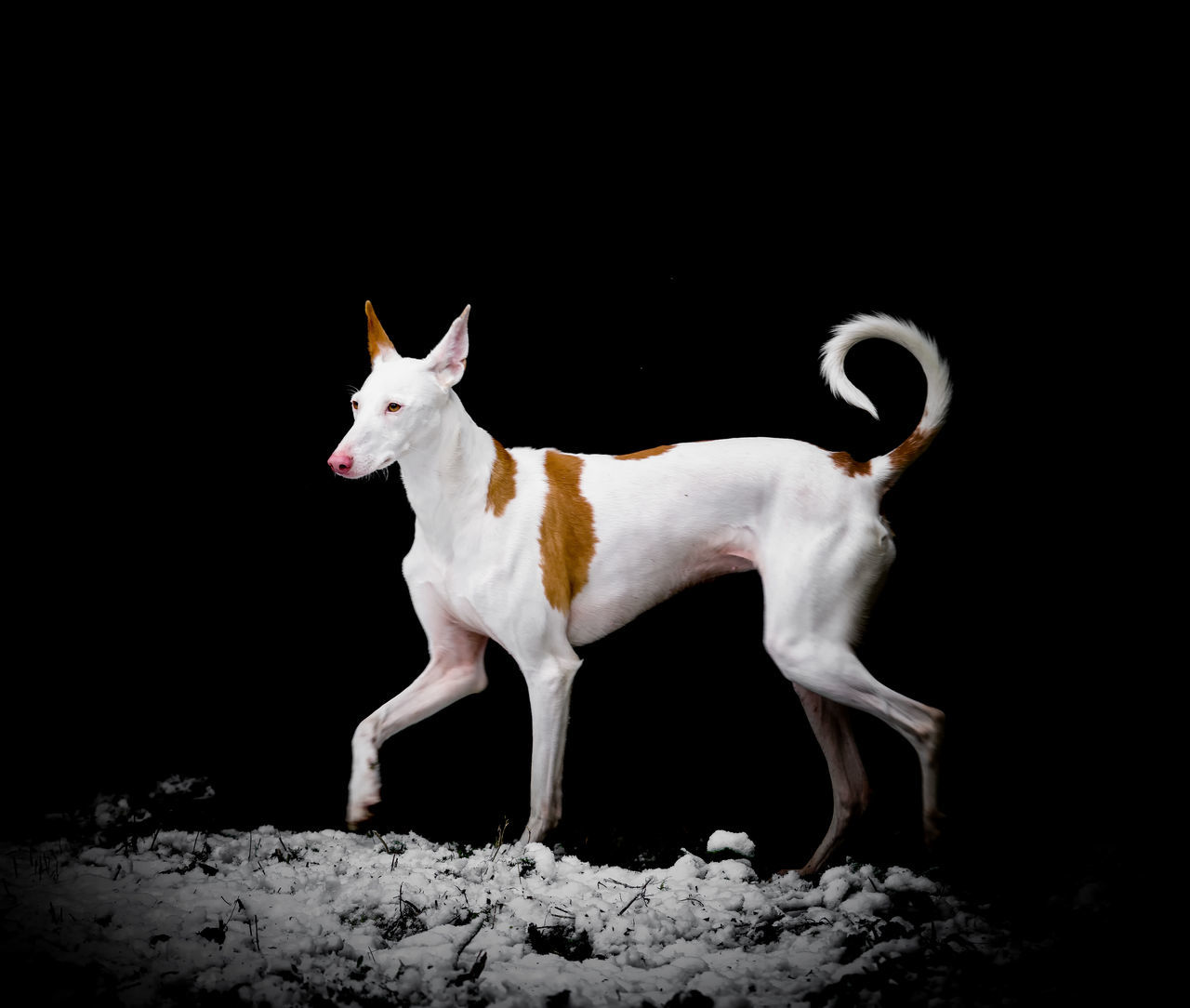 Animal Themes Black Background Dog Domestic Animals Ibizan Hound Mammal Night No People One Animal Pets Podenco Ibicenco Spanish