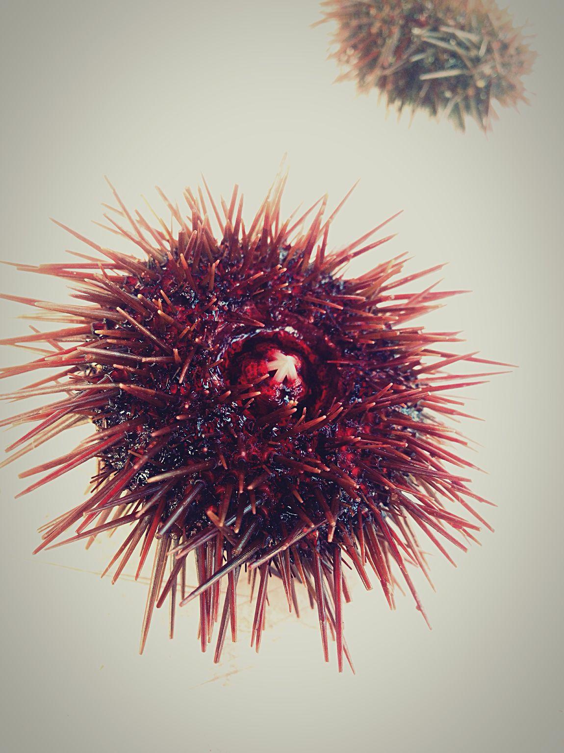 Sea-urchin 🌊