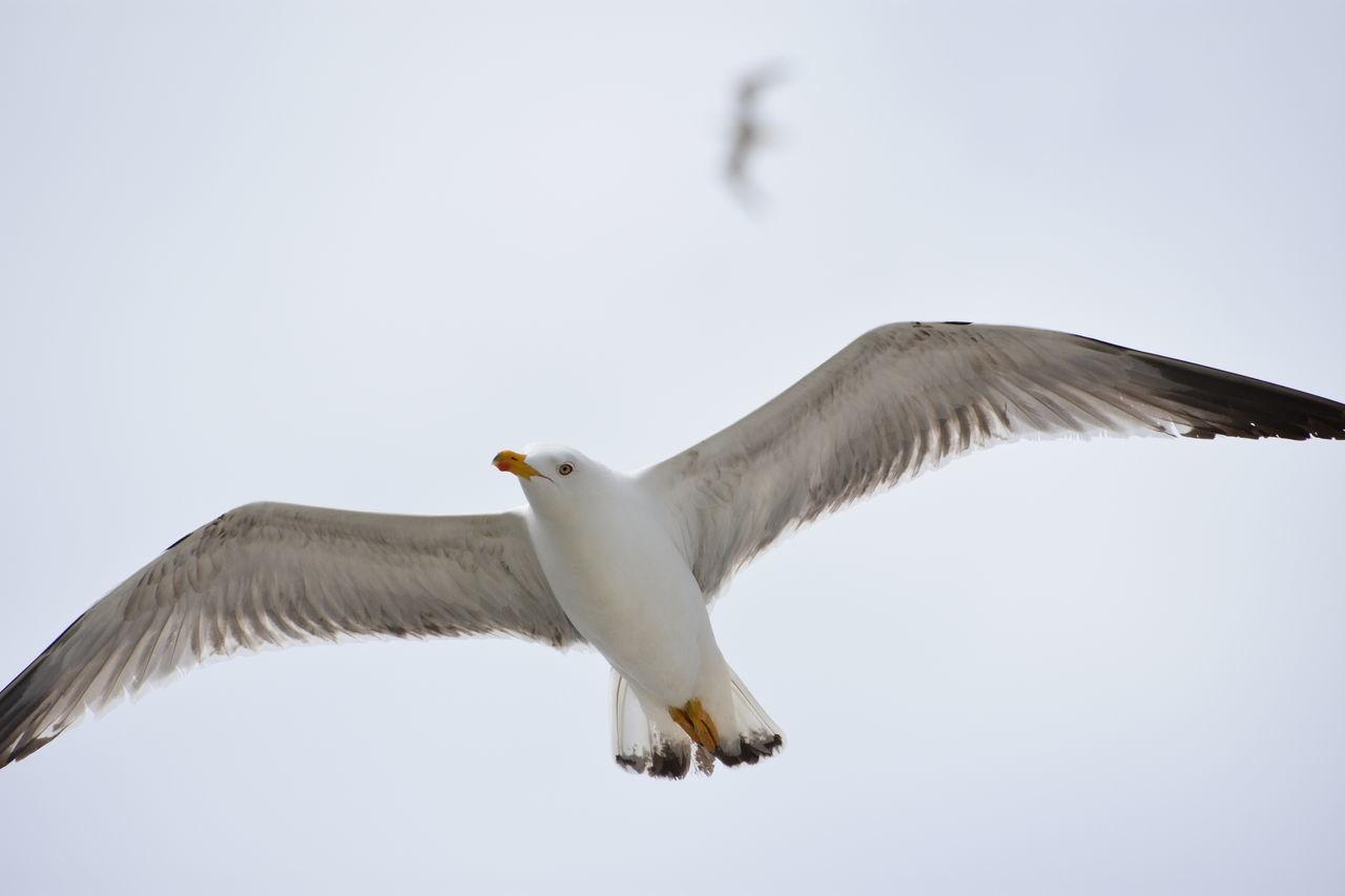 Flying Bird EyeEm Nature Lover EyeEm Animal Nature No People Bird Photography Birds In Flight Gulls In Flight Gull
