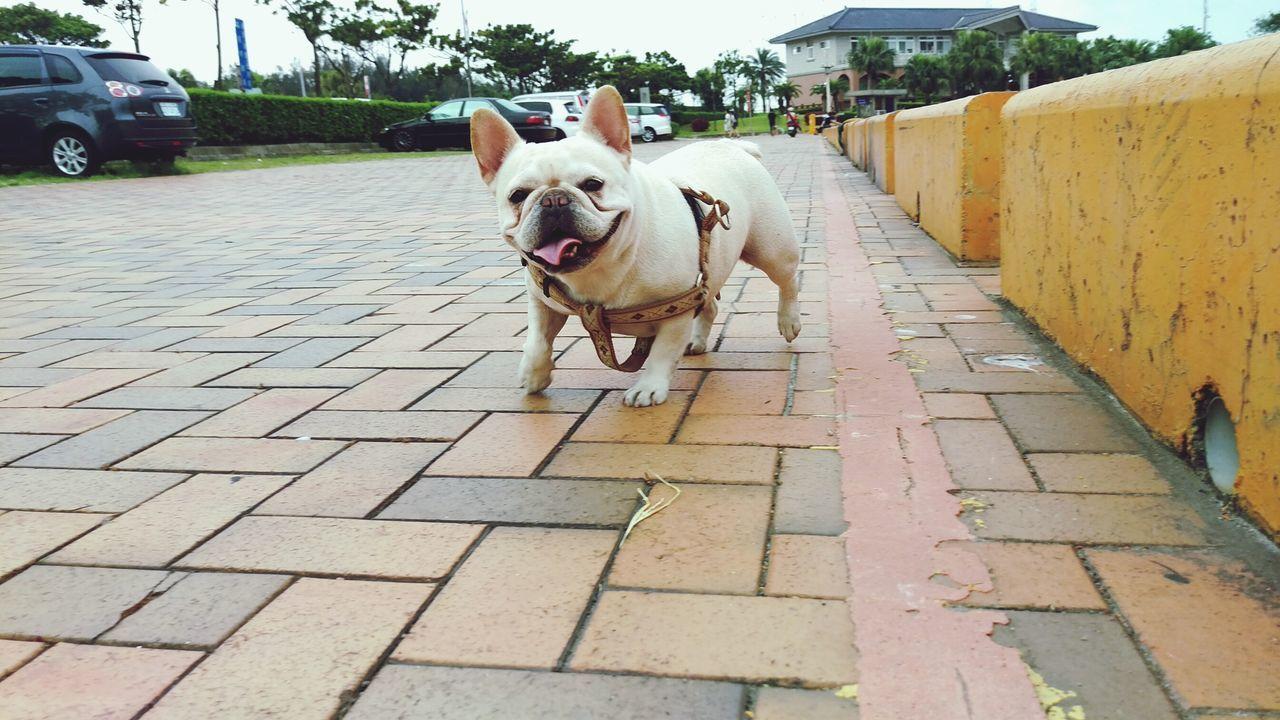 Beautiful stock photos of french bulldog, Animal Themes, Built Structure, Bulldog, Car
