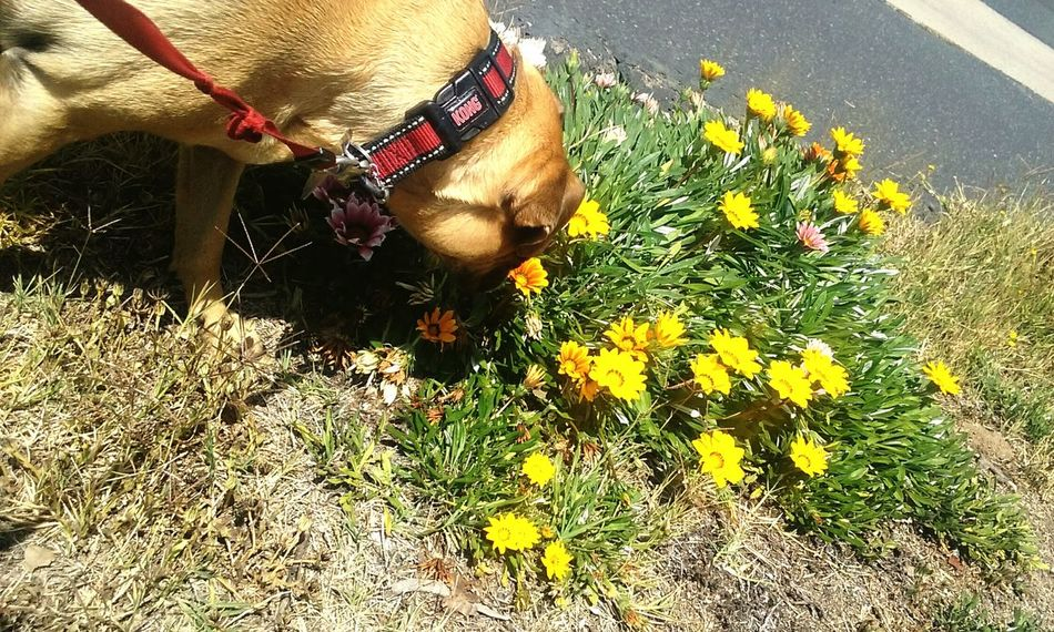 Huntingtonbeach California Southern California Surfcityusa Flowers Dog Yellow Flower Yellow Flowers Yellow Purple Flower Grass Grassblade Midasthefriendlychug Mybestfriend Chug Smelltheflowers Smellsgood Smell Spring Springtime In California Springtime Bunch Of Flowers