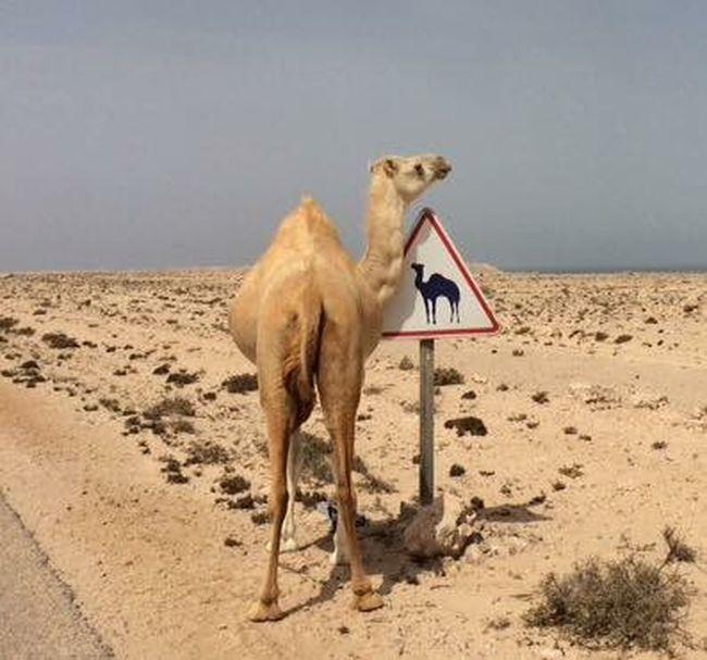 Africa Dakhla Desert Cammello Jamel Road Tropicodelcancro Tropic