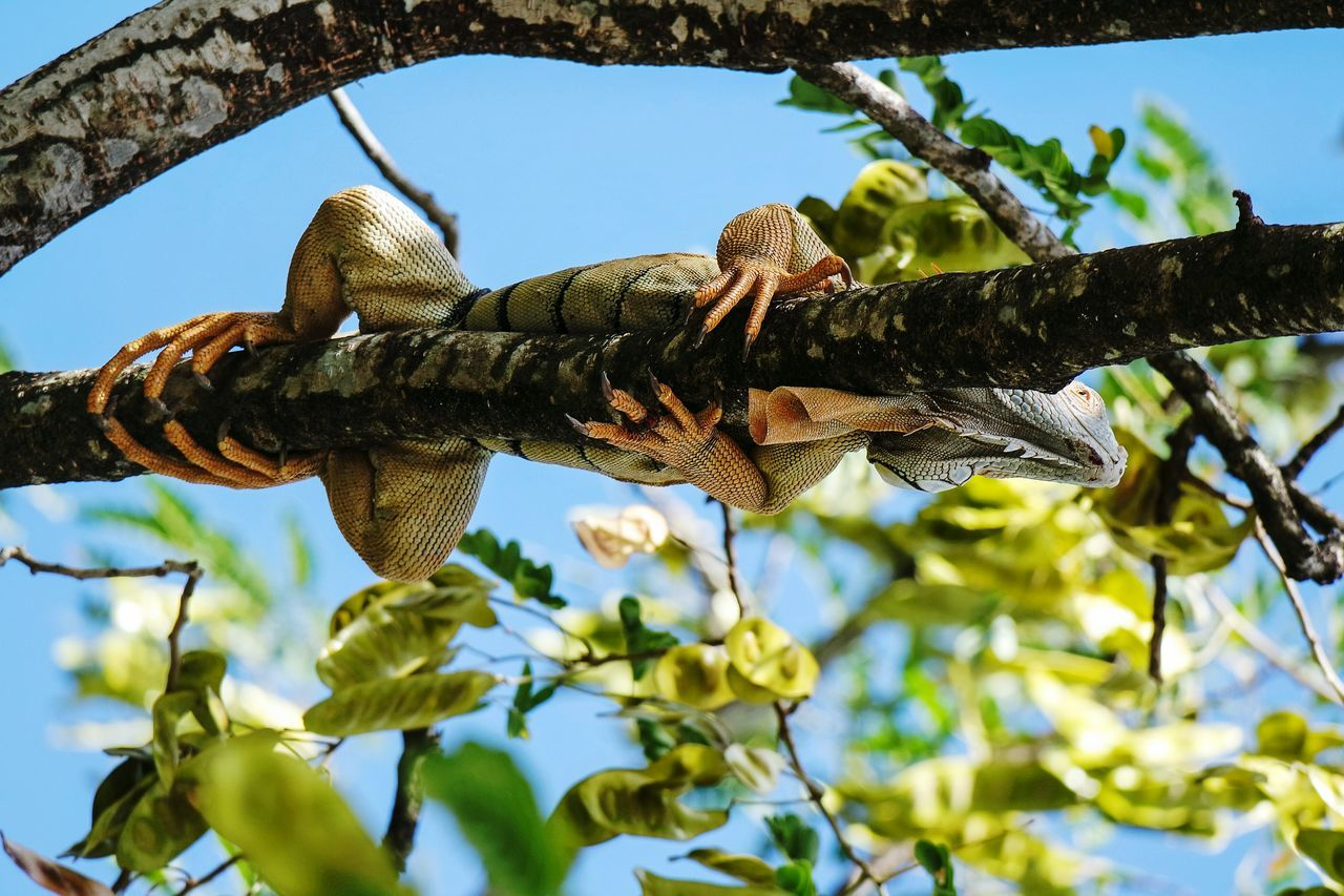 Looking up in Point a Pitre Tree Branch Growth Nature Sky Low Angle View No People Beauty In Nature Day Outdoors Close-up Cactus Iguana Tourism EyeEm Best Shots Open Edit Eye4photography  Fresh 3 Lookingup Iguana In A Tree Travel Destinations Nature Photography Nature_collection