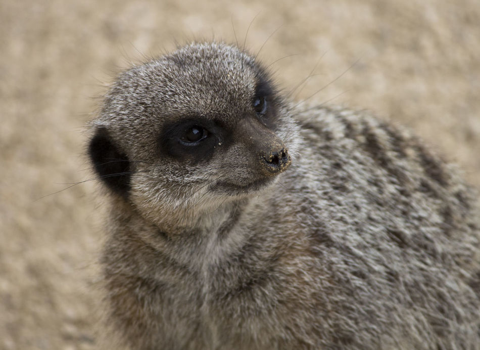 Animal Themes Animal Wildlife Animals In The Wild Close-up Cute Day Face Fur Mammal Meerkat Nature No People One Animal Outdoors Portrait Whisker Zoo Zoo Animals  Zoology Zoom