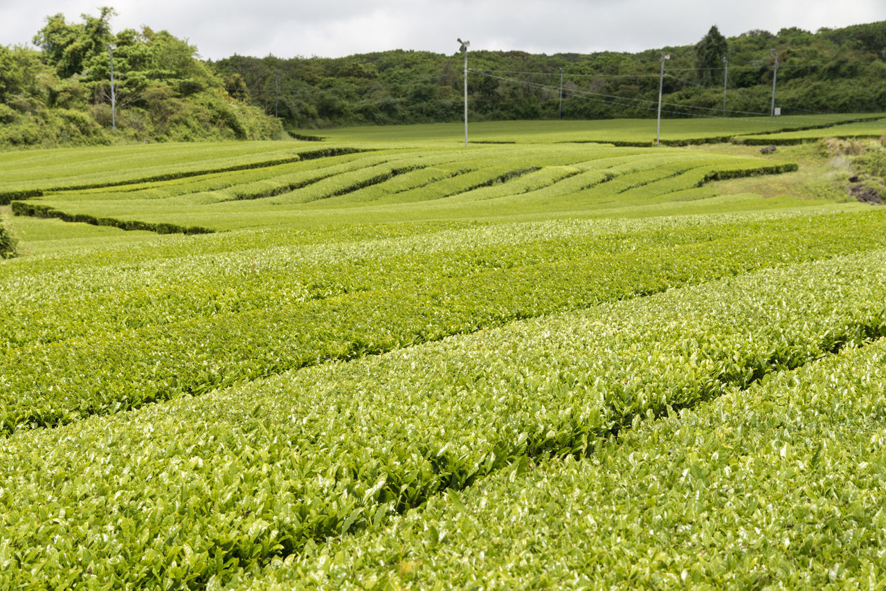 landscape of green tea field at Osulloc in Jeju Island, South Korea Agriculture Beauty In Nature Day Field Grass Green Color Green Tea Field Growth JEJU ISLAND  Landscape Nature No People Osulloc Outdoors Rural Scene Scenics Sky Tranquil Scene Tranquility Tree
