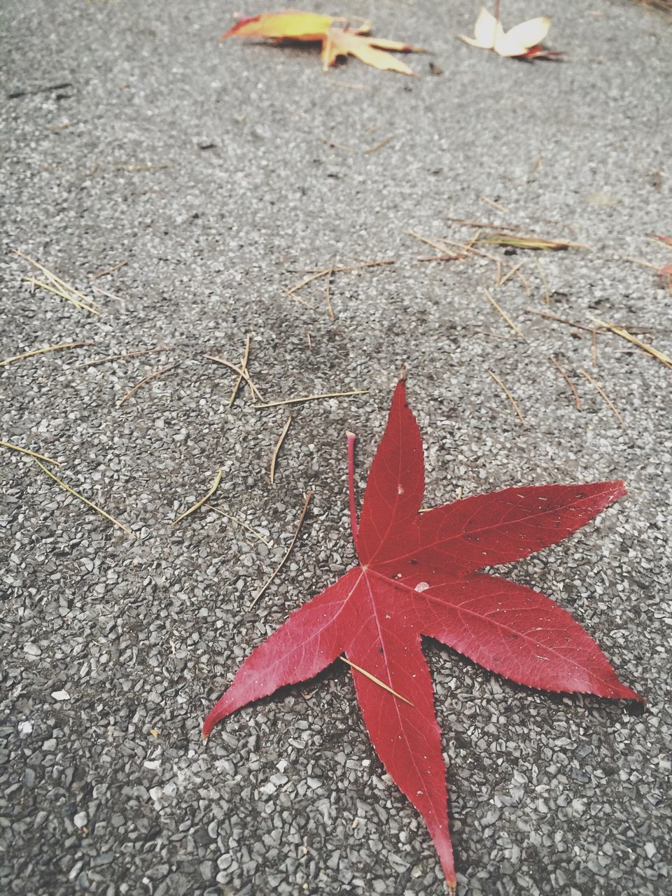 autumn, leaf, change, maple leaf, red, no people, day, high angle view, maple, outdoors, close-up, nature