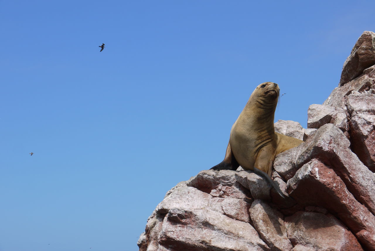 A sea lion posing on a rock at Islas Ballestas, Ica, Peru. Animals In The Wild Animal Wildlife No People Close-up Sealion  Peru Islas Ballestas Sealion On Rock