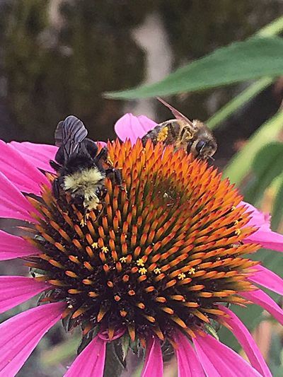 Bees Flower Sharing  Loving Sunmer PNW Pacific Northwest  Nature It's Good To Share