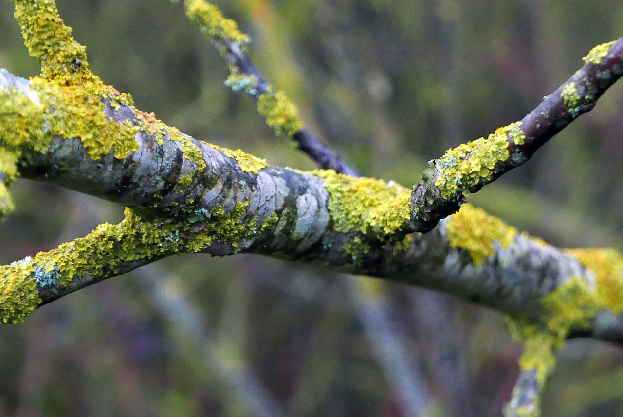 nature, growth, outdoors, day, no people, close-up, lichen, green color, focus on foreground, beauty in nature, branch, moss, tree, fragility