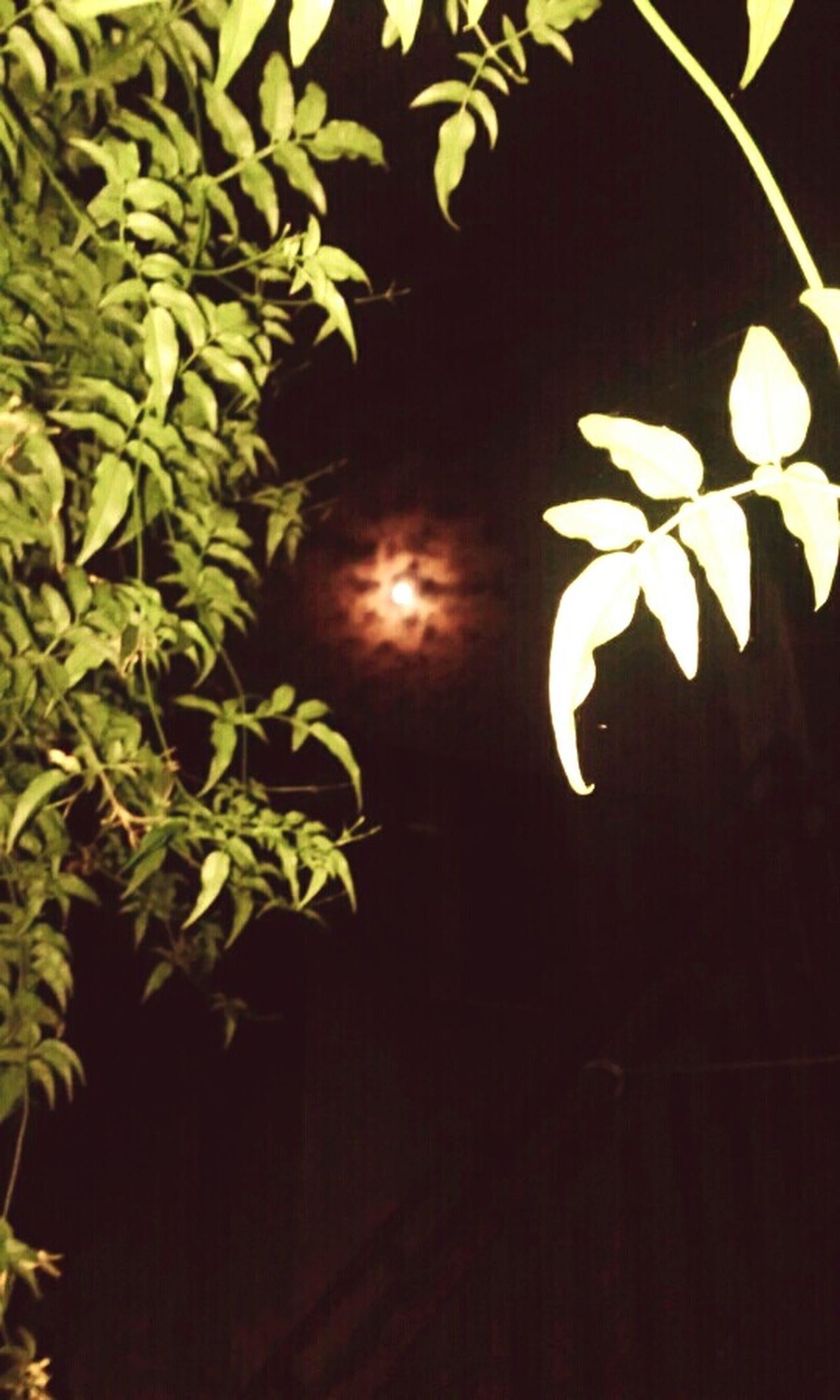 Night Jazmine Bella Luna