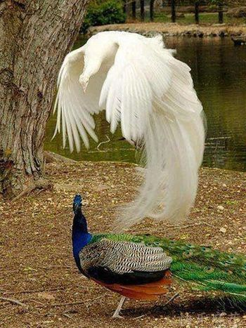 beautiful peacock and albino peacock