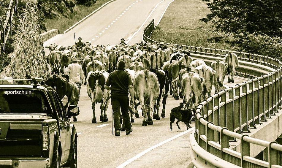Sportschule! Streetphotography Sport School  Sport School Cows Alps Curiousmoments Malbun Liechtenstein Tradition Viehtrieb Cattle Cattle Drive Road Winding Road Simply Animalistic MeinAutomoment Einfach Tierisch