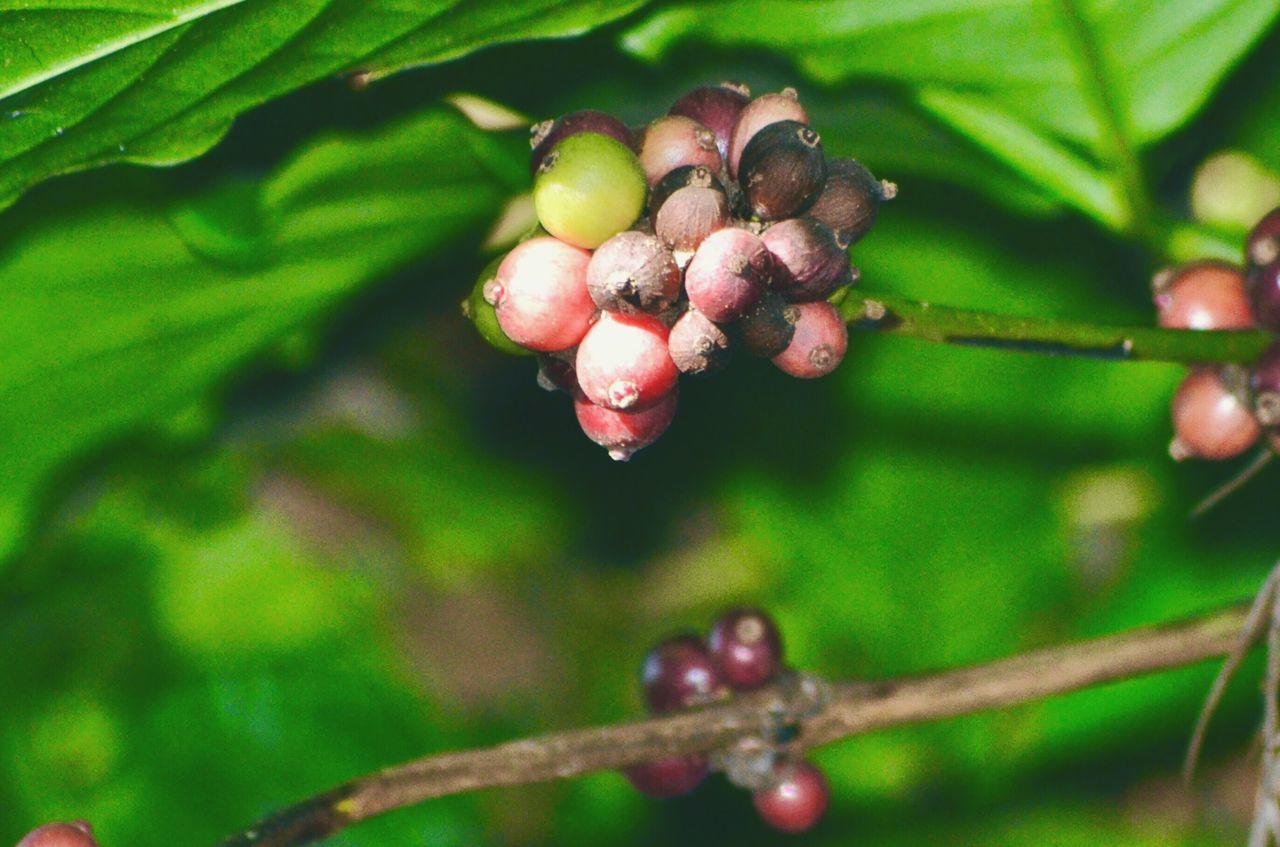 Coffee Cherries Growth Fruit Close-up Plant Food And Drink Nature Freshness Leaf Food Focus On Foreground Day Selective Focus Green Color Red Beauty In Nature New Life Botany Bunch Berry Springtime Coffe Beans