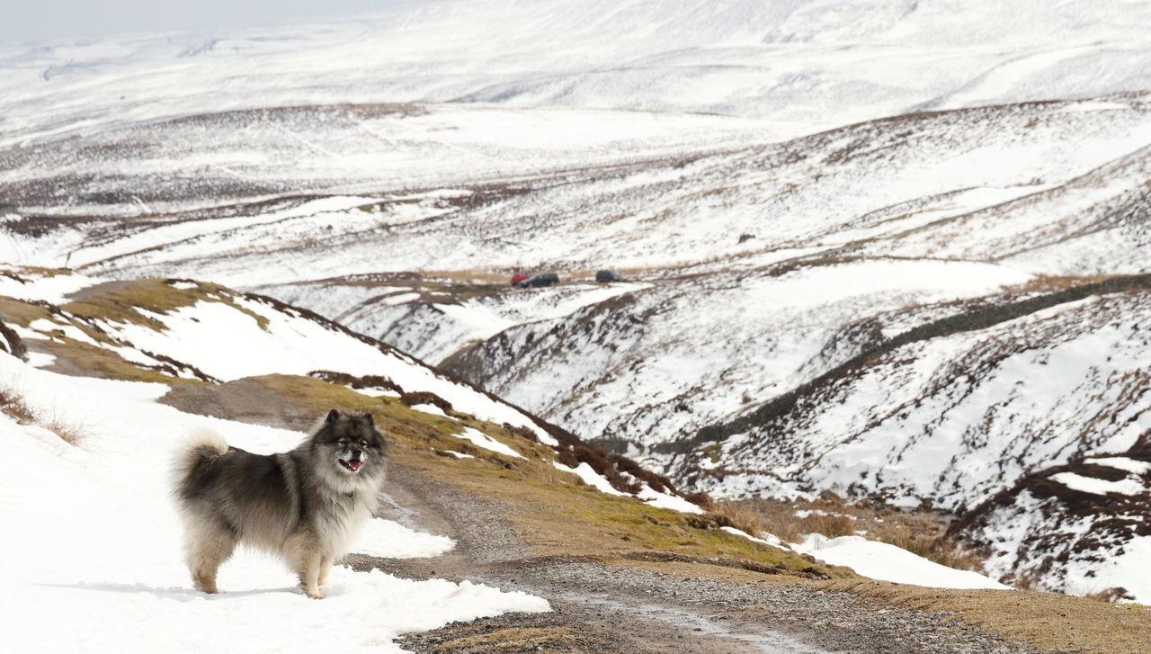 Dog Keeshond Landscape Pet Snow Surrender Bridge Winter Yorkshire Dales