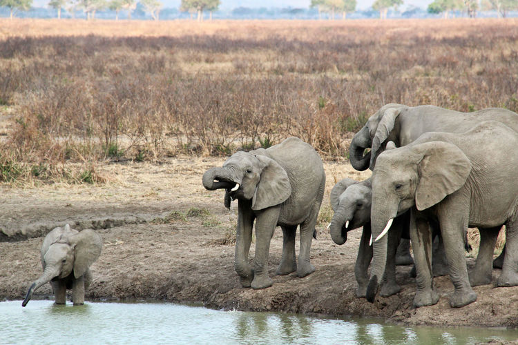 African Elephant Animal Themes Animal Wildlife Animals In The Wild Day Drinking Elephant Full Length Mammal Mikumi National Park Nature No People Outdoors Safari Animals Savannah Standing Tanzania Togetherness Water Water Hole Young Animal
