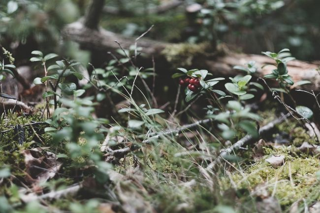 Lingon August 2016 Augusti Bar Beauty In Nature Berries Close-up EyeEm EyeEm Nature Lover Fujifilm Grass Growth Kungshamn Lingon Lingonberries Nature Nature_collection No People Plant Sotenäs Svensk Natur Sweden Swedish Nature Taking Photos Twig Xshooter