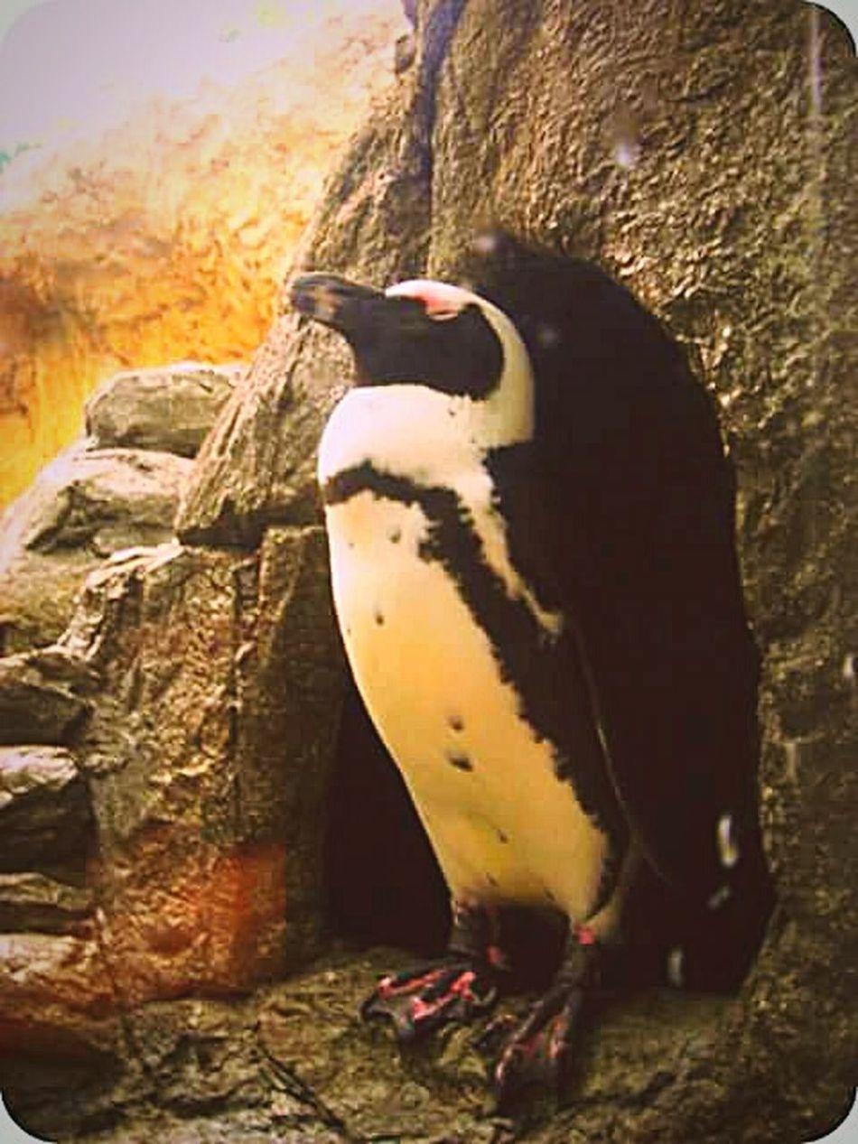 Penguin Stance Wildlifeincaptivity Wildlifeincages Tennessee Aquarium