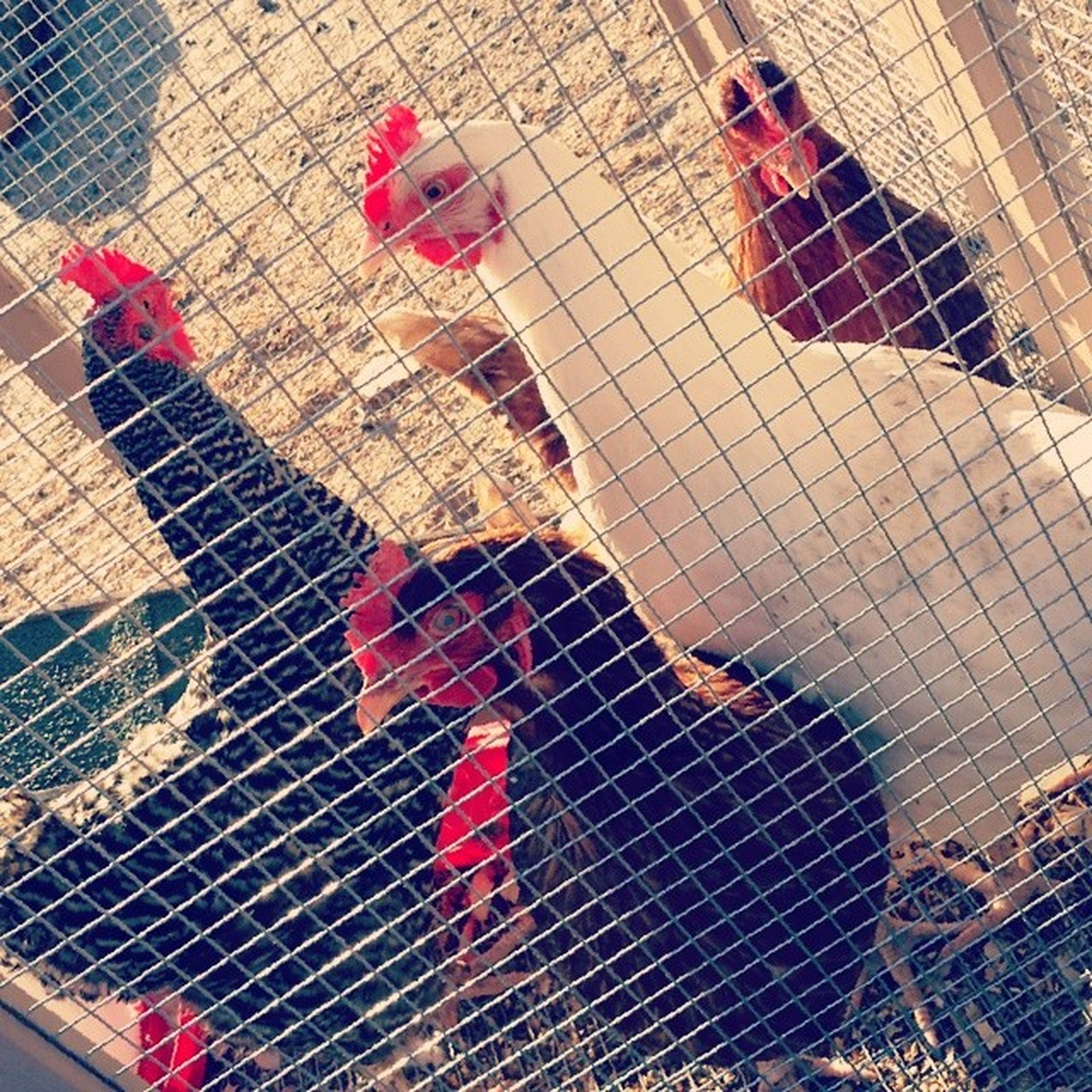 Backyard Chickens Dagurlz ???