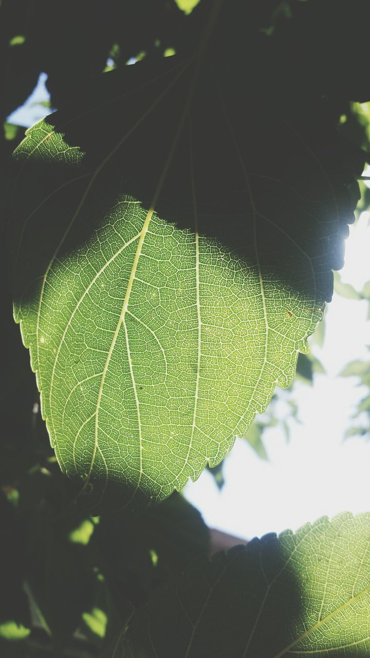 leaf, green color, leaf vein, close-up, growth, nature, focus on foreground, plant, natural pattern, pattern, sunlight, green, selective focus, leaves, day, no people, outdoors, beauty in nature, fragility, branch