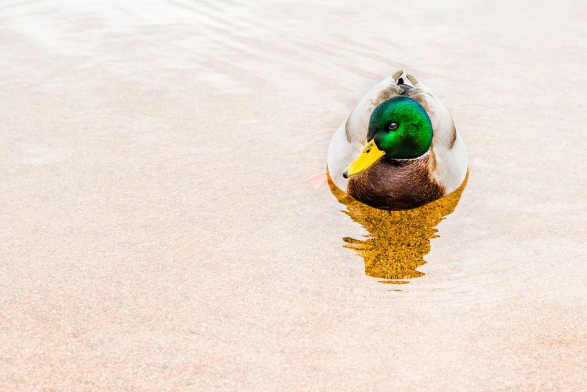 Male Mallard Duck Floating on Lake Afternoon Calm December Drake  Green Okanagan Valley Reflection Swimming Tranquil Winter Bird Close-up Colorful Floating On Water Lake Nature Okanagan Outdoor Peaceful Serene Skaha Lake South Okanagan Water Waterfowl Wildlife