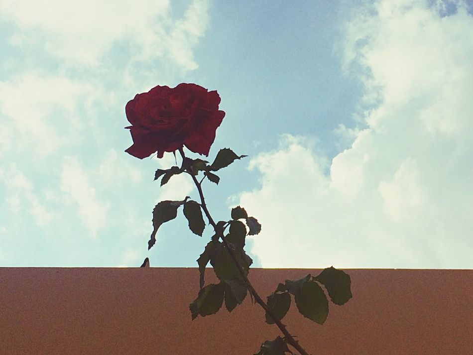 Jalisco, 2016 Rose🌹 Beautiful Life Traveling Awesome Blue Sky Travel Green Happiness Flower Vianeycarre Plants Nature Live Jalisco Free Blue Skyporn Mexico Sky Wall Happy Roses Flowerporn Red