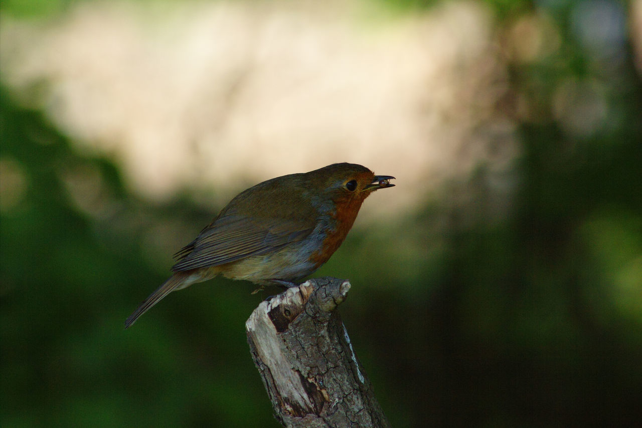 One Animal Bird Animal Wildlife Perching Animals In The Wild Animal Themes No People Day Nature Outdoors Close-up Tree Beauty In Nature Focus On Foreground Robin Redbreast Robin