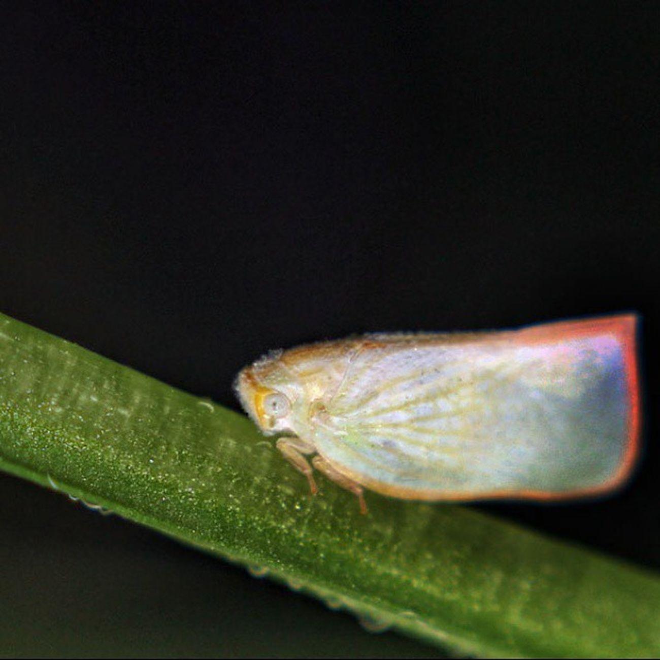Kupu-kupu kepala ikan? Butterfly Kupukupu Closeup Macrophotography macro insectagram insect instagaruda_macro indonesiagram macro_x instagallery_ina