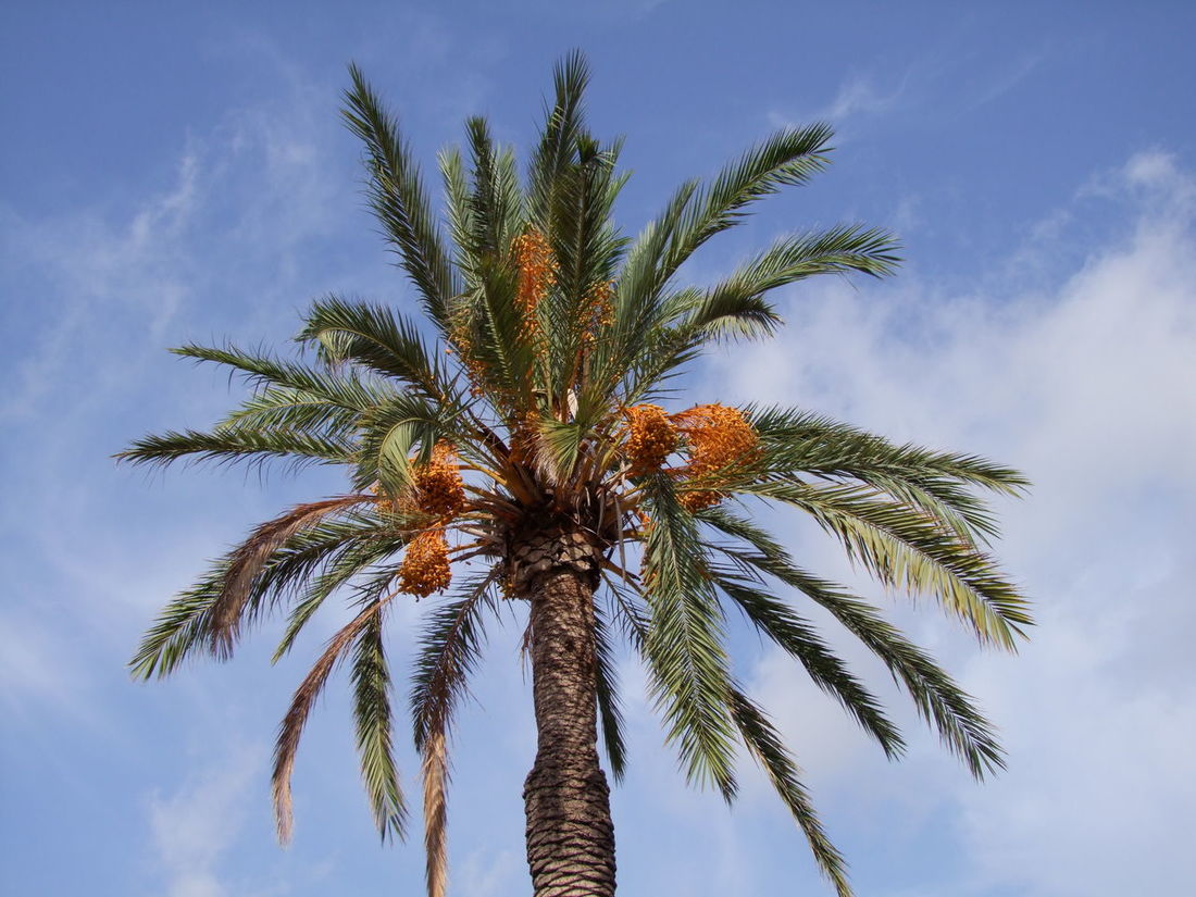 Date Palm Blue Sky White Clouds City Composition Date Palm Mallorca Palm Tree Leaves Palma Palma De Mallorca SPAIN Sunlight Beauty In Nature Capital City Dates Full Frame Growth Low Angle View Nature No People Outdoor Photography Palm Frond Palm Tree Tree Tree Trunk