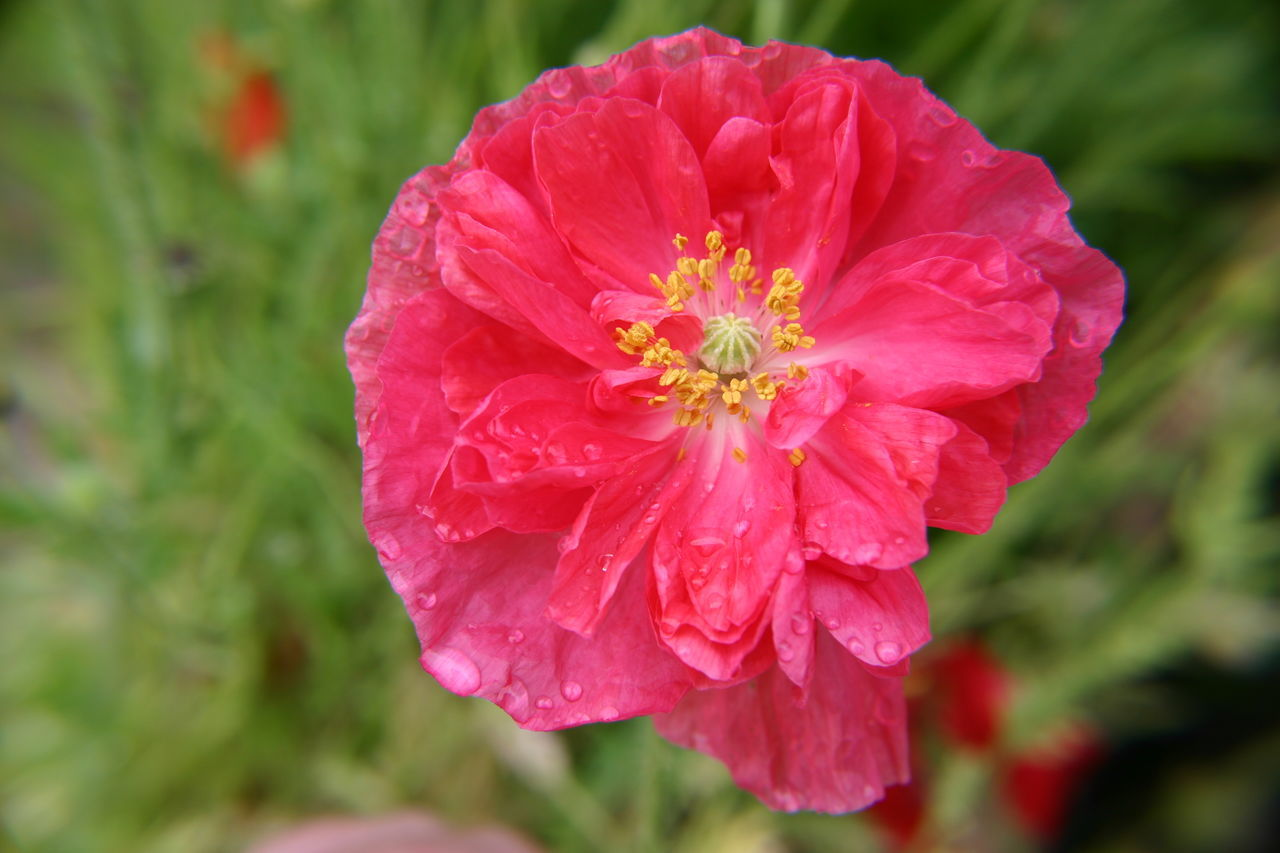 Beauty In Nature Blooming Close-up Day Flower Flower Head Fragility Freshness Garden Garden Photography Growth Nature No People Outdoors Petal Pink Color Plant Poppy Flowers Red Summer