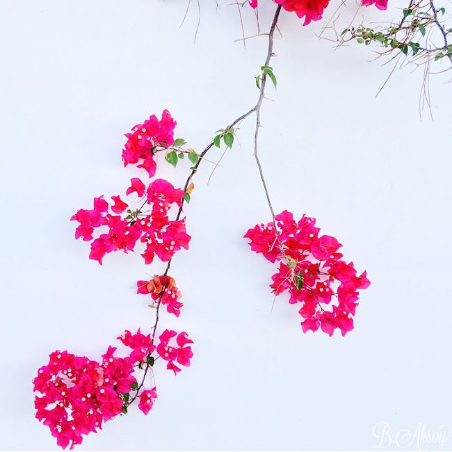 Flower Fragility Freshness Growth Nature Petal Beauty In Nature Plant Pink Color Flower Head Blooming No People Low Angle View White Background Close-up Sky Day Bougainvillea Outdoors