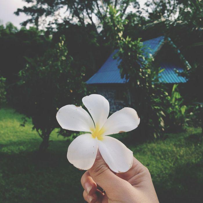 Plumeria? Plumeria Flower