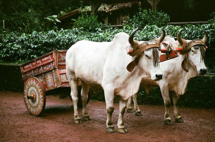 Costa Rica Ox Cart 35mm Film BRAHMAN