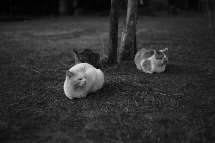 The six sense Monochrome Black And White Photography B & W  My Photography Black & White Black And White X-Pro1 Fujifilm X-Pro1 Japanese  B & W Photography Voigtlnder Japan Voightlander Nokton Classic 40mm/F1.4 SC Cat Cats Balls Street Cats Street Cat